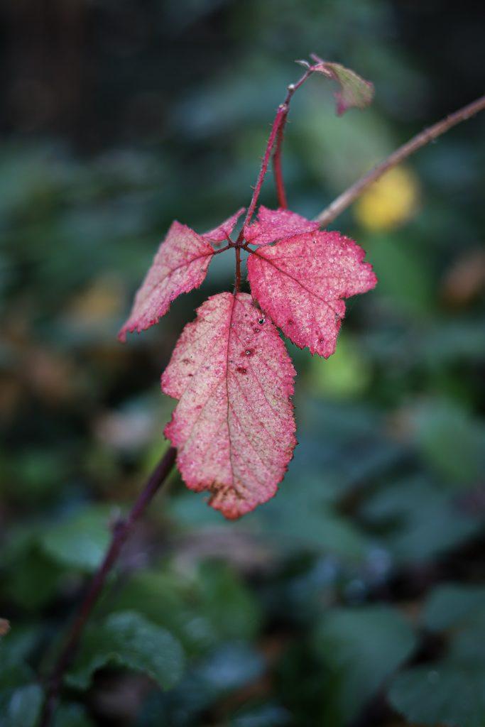 In het bos rode blaadjes